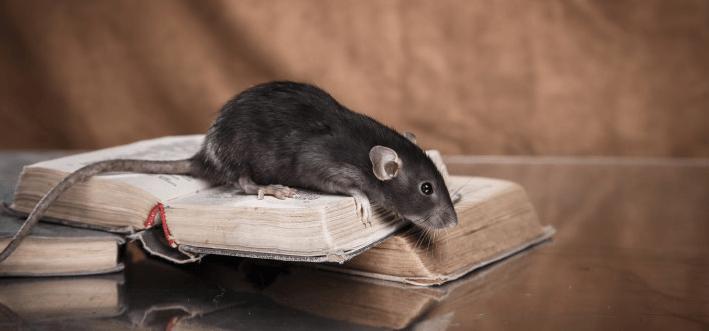 Lutte preventive anti-rats